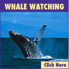 Lahaina Harbor Whale Watching link